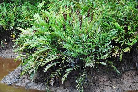 Pohon Warakas