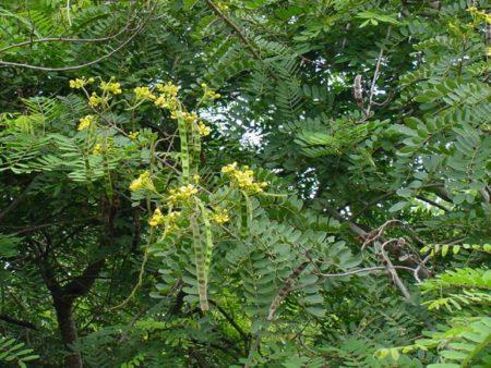 Pohon Johar