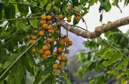 Pohon kedoya