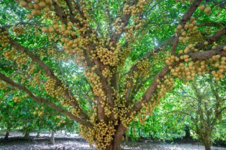 Pohon Menteng